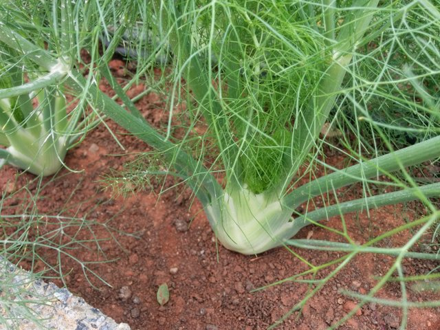 Growing Fennel Herb - How to grow fennel