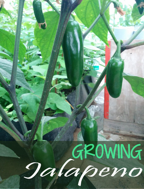 Growing Jalapenos - How to Grow Jalapeno Plant