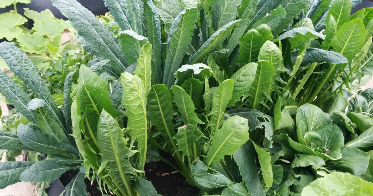 Growing Kale How to grow Kale