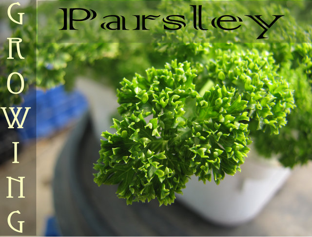 Growing Parsley - How to grow Parsley