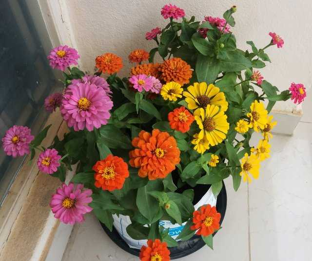 Growing Zinnia Plants: Information on How to plant zinnias