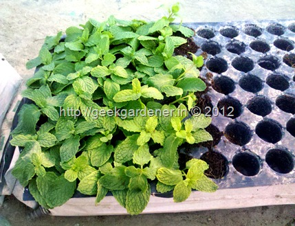 how to grow mint step by step