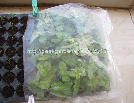 how to grow mint from cuttings step by step with pictures