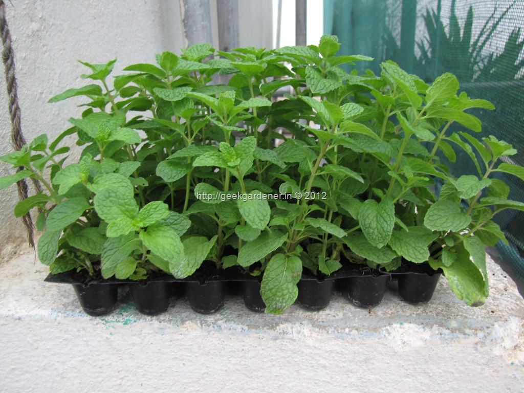 How to grow mint from cuttings