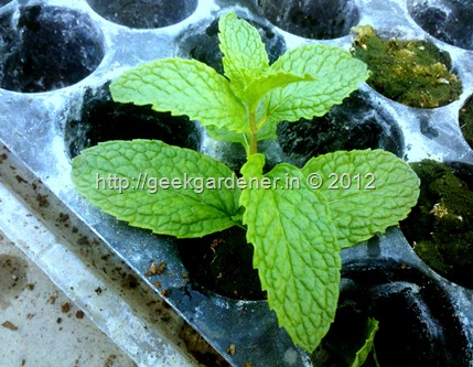 How to grow mint leaf indoors