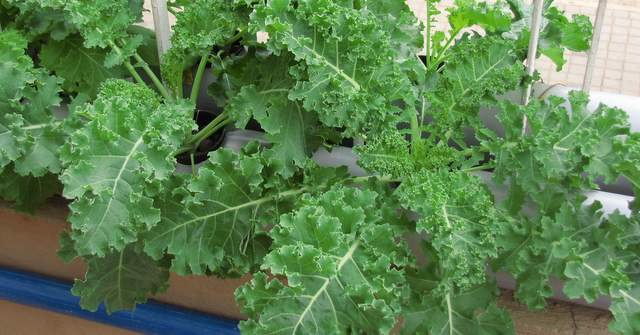 Growing Kale - How to grow Kale plants