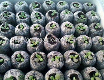 lettuce-seedling-plugs