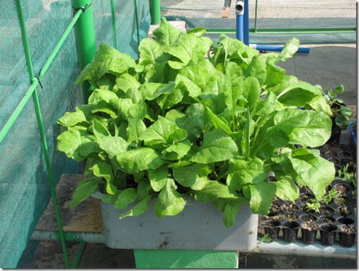 Growing spinach in containers urban gardening terrace gardening and hydroponics - Hydroponic container gardening ...