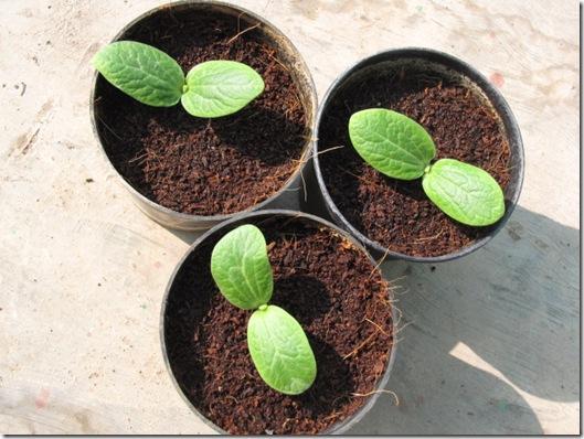 zucchini squash seedlings