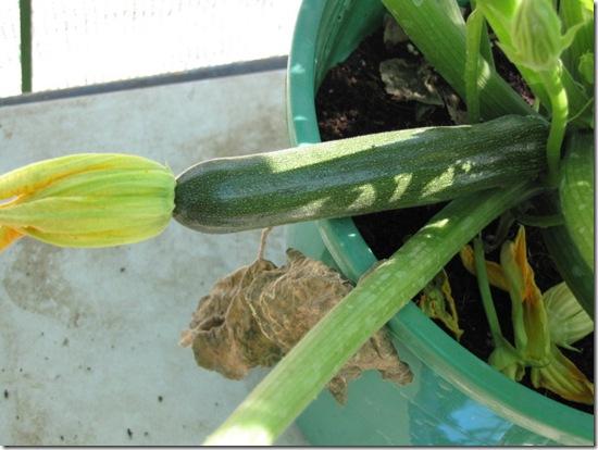 pollinated zucchini