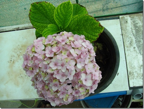 Hydrangea Propagation – How To Propagate Hydrangeas From Cuttings