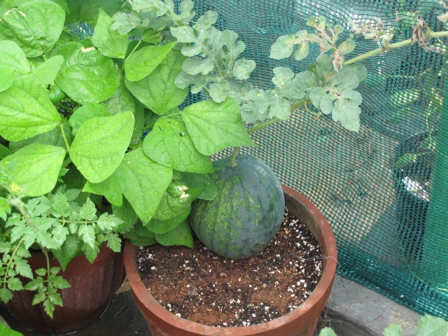 Growing watermelon in containers urban gardening What are miniature plants grown in pots called