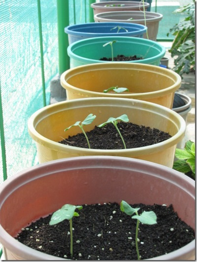 Growing Okra-How to grow Okra in Containers