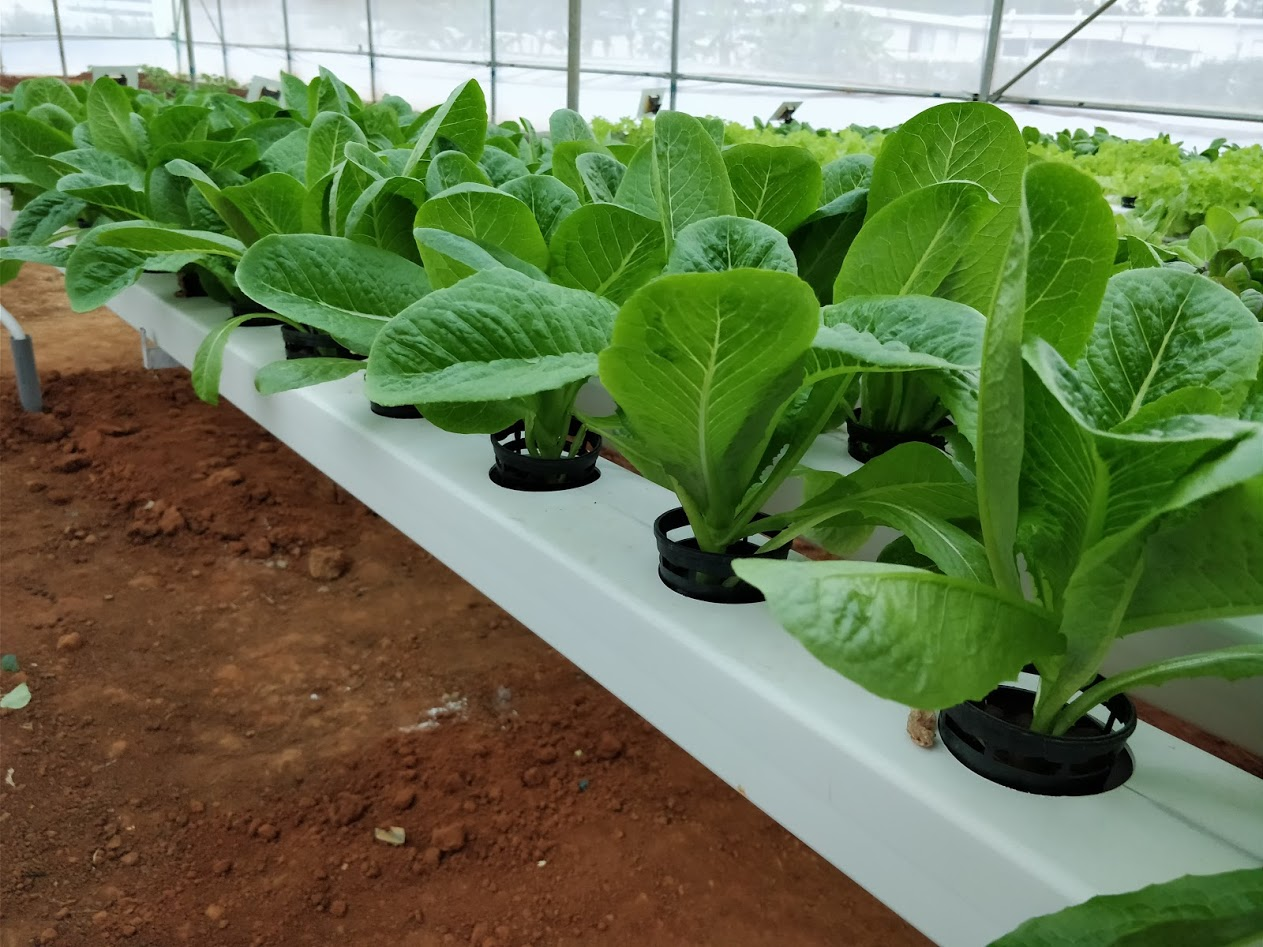 Growing Romaine Lettuce or Cos Lettuce in Hydroponics