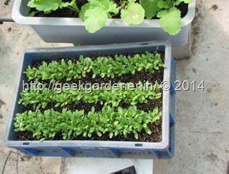 sow-seeds-bigpot3-geekgardener